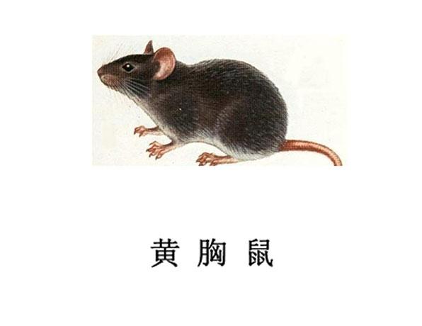 遂宁灭鼠公司-黄胸鼠防治