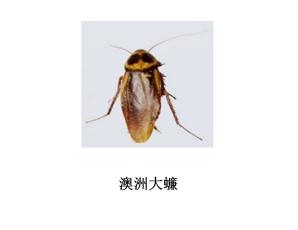 遂宁灭蟑螂公司-灭澳洲大蠊服务