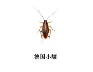 遂宁灭蟑螂公司-德国小蠊防治