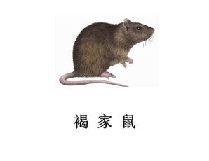遂宁灭鼠公司-褐家鼠防治