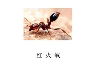遂宁灭虫公司-红火蚁防治