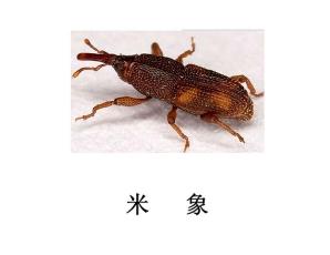 遂宁灭虫公司-米象防治
