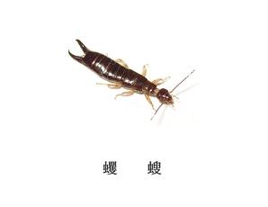 遂宁灭虫公司-灭蠼螋