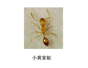 遂宁灭虫公司-灭小黄家蚁