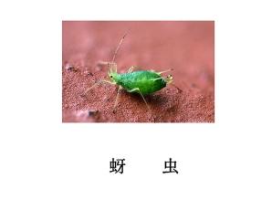 遂宁灭虫公司-灭蚜虫
