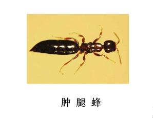 遂宁灭虫公司-灭肿腿蜂