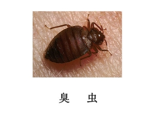 南充灭虫公司-臭虫防治